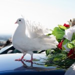выпуск голубей